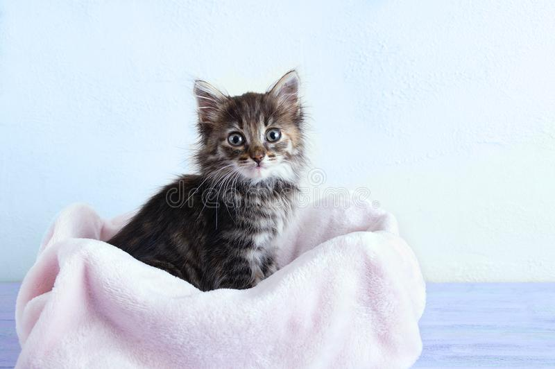 Small gray kitten sits on a pink plaid against a white wall. A small gray kitten sits on a pink plaid against a white wall royalty free stock photo
