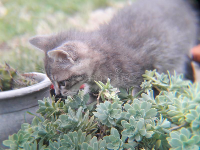 small gray kitten walking on plants, flowers and grass royalty free stock photos