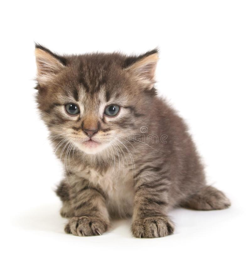 Small gray kitten. On a white background stock photography