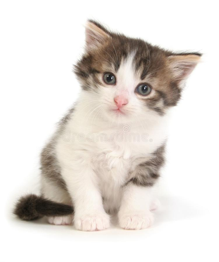 Small gray kitten. On a white background royalty free stock photography