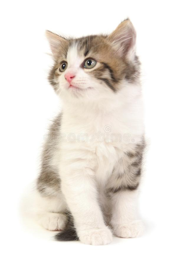 Small gray kitten. On a white background royalty free stock photo