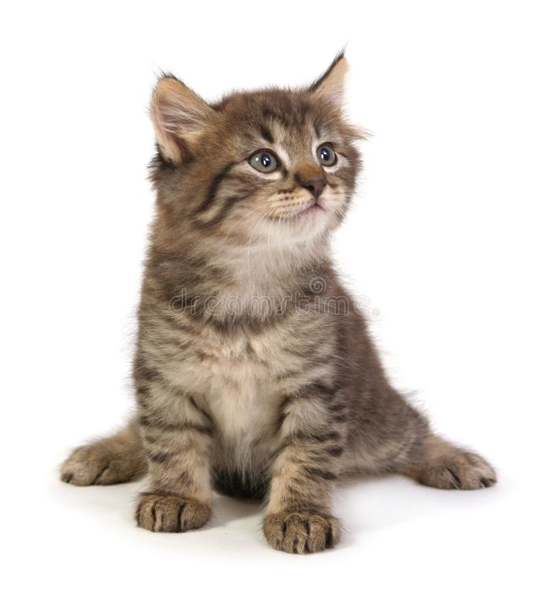 Small gray kitten. On a white background royalty free stock images