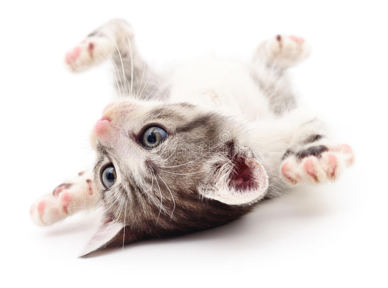 Small gray kitten. Small gray kitten on white background royalty free stock photo