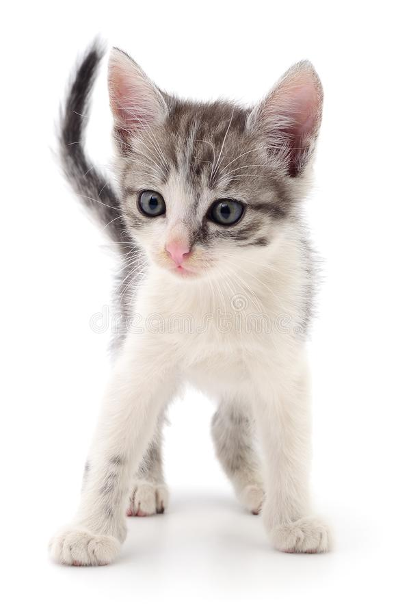 Small gray kitten. Small gray kitten on white background stock photos