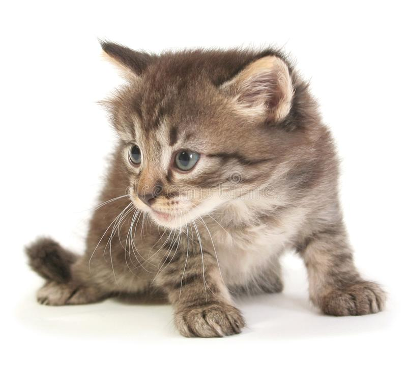 Small gray kitten. On a white background stock photo