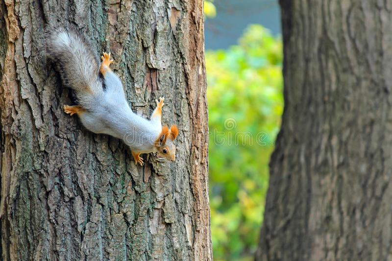 A small gray little squirrel with a big tail runs along the branches of a tree in an autumn park stock image