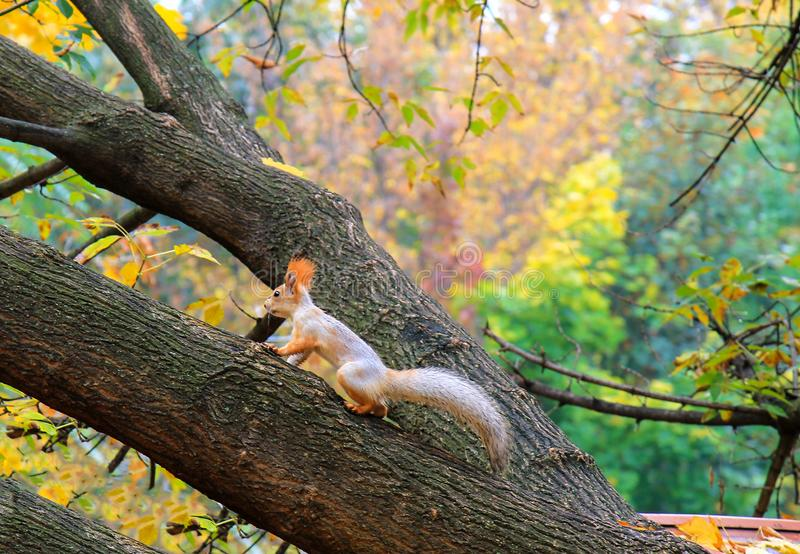 A small gray and orange little squirrel with a big tail runs along the branches of a tree in an autumn park stock photos