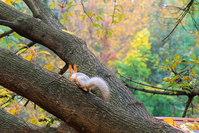 A small gray and orange little squirrel with a big tail runs along the branches of a tree in an autumn park. On a rainy day stock images