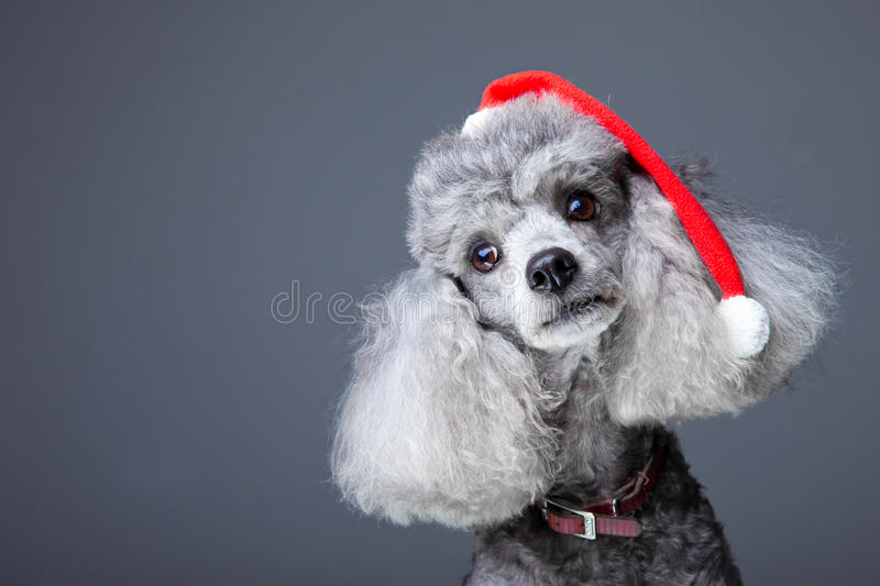 Small gray poodle with red christmas cap. Close-up portrait of obedient small gray poodle with red christmas cap and leather collar celebrating new year holiday stock photos
