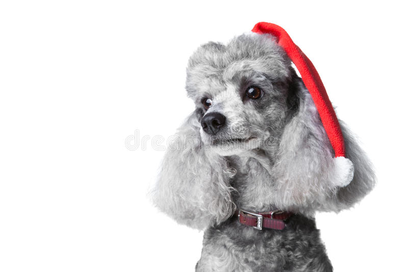 Small gray poodle with red christmas cap. Close-up portrait of obedient small gray poodle with red christmas cap and leather collar celebrating new year holiday stock photo