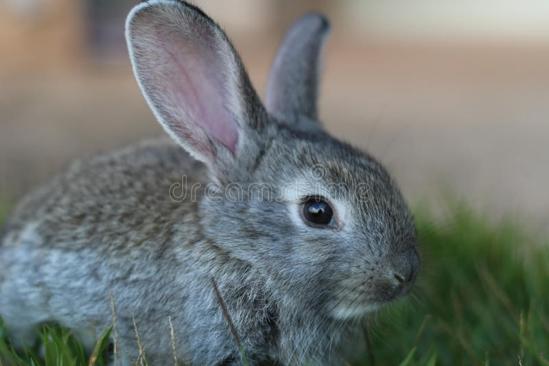Small gray rabbit royalty free stock images