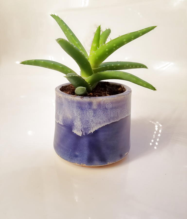 Small green aloe vera plant in a blue glazed flower pot. Aloe Vera plant in a blue glazed pot against a cream background royalty free stock photography