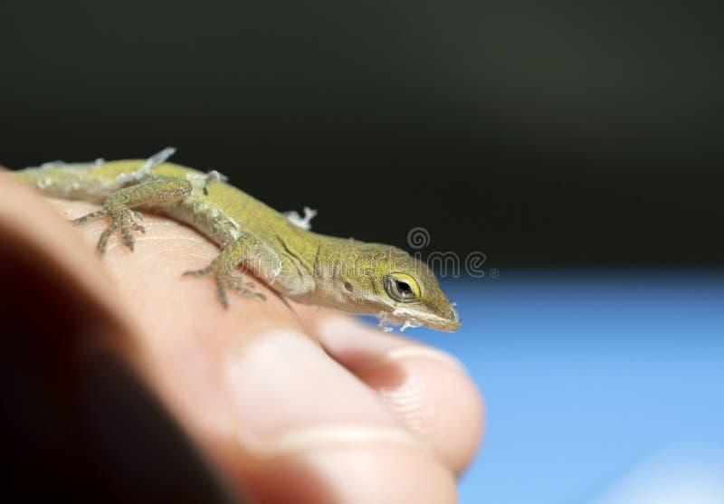 Tiny baby Green Anole Lizard, Georgia USA stock photo
