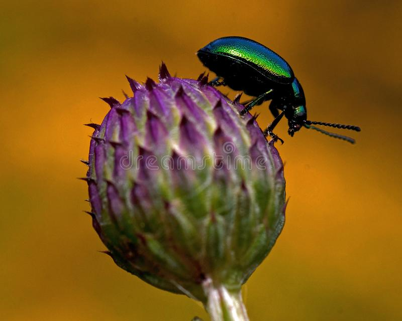 A small green beetle on a violet flower bud of Cirsium. A small green beetle Meligethes aeneus on a violet flower bud of Cirsium stock image