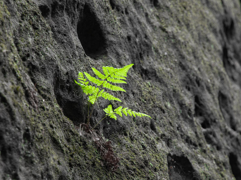 Small green bracken in sandstone wall. Natural detail.  royalty free stock photos