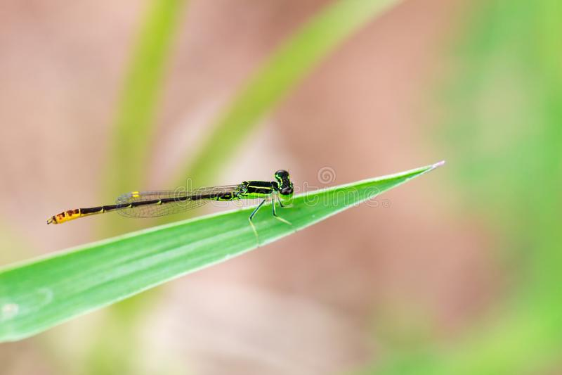 Small green dragonfly with blur background, Beautiful dragonfly macro, Close-up dragonfly. stock photo
