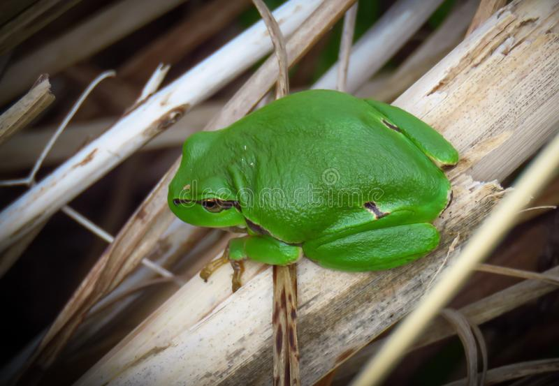 Small green European tree frog Hyla arborea in The Zwin nature reserve, Belgium royalty free stock photography