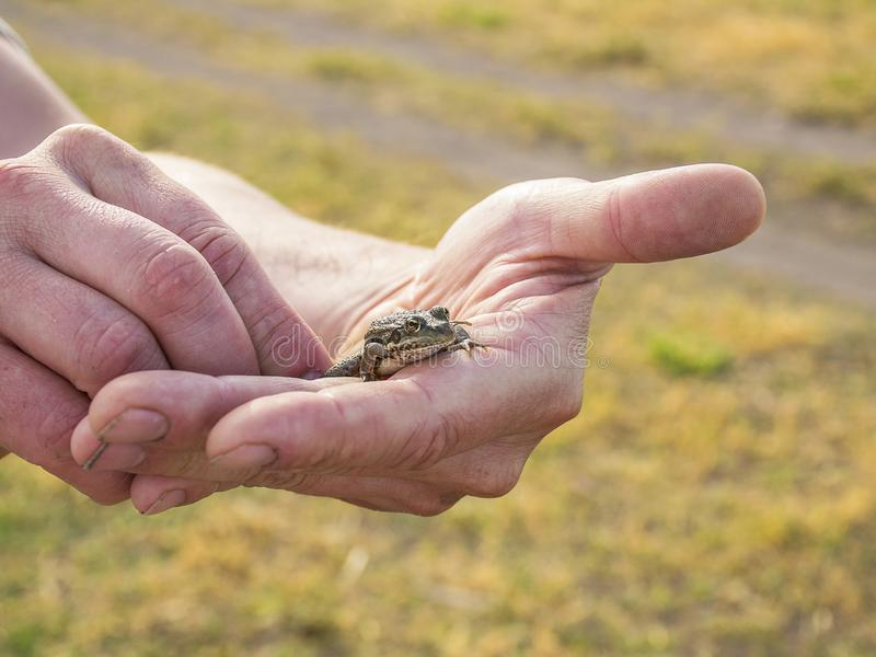 ..A small green frog in the hands of man. Wild nature. The frog will turn into a princess royalty free stock images