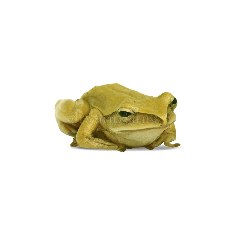 Small green frog isolated on white background. stock images