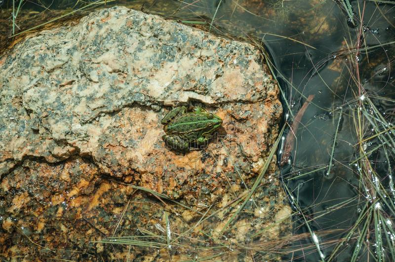 Small green frog on stone among water stock photography
