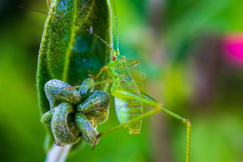 Small green grasshopper on a flower. Close-up stock photography