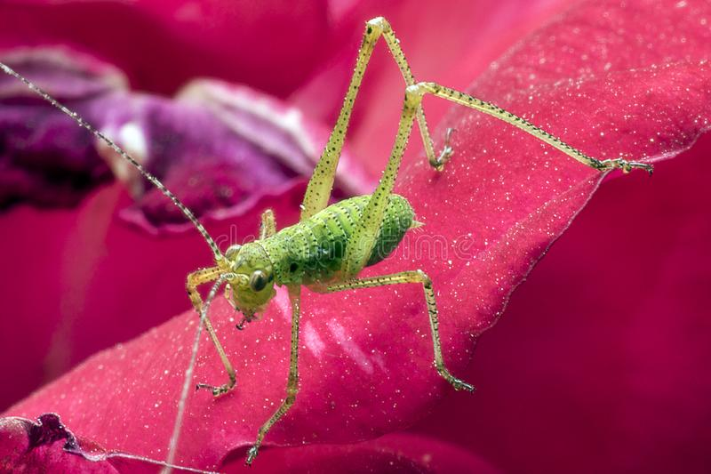Small green grasshopper on the petals of a rose. Detail close up. Macro photography. Small green grasshopper on the petals of a rose. Flower. Detail close up royalty free stock image