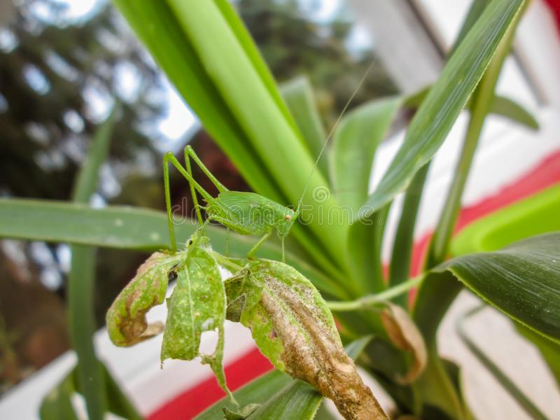 Small green grasshopper standing on leaves of a plant. Small green grasshopper standing on leaves of a house plant stock images