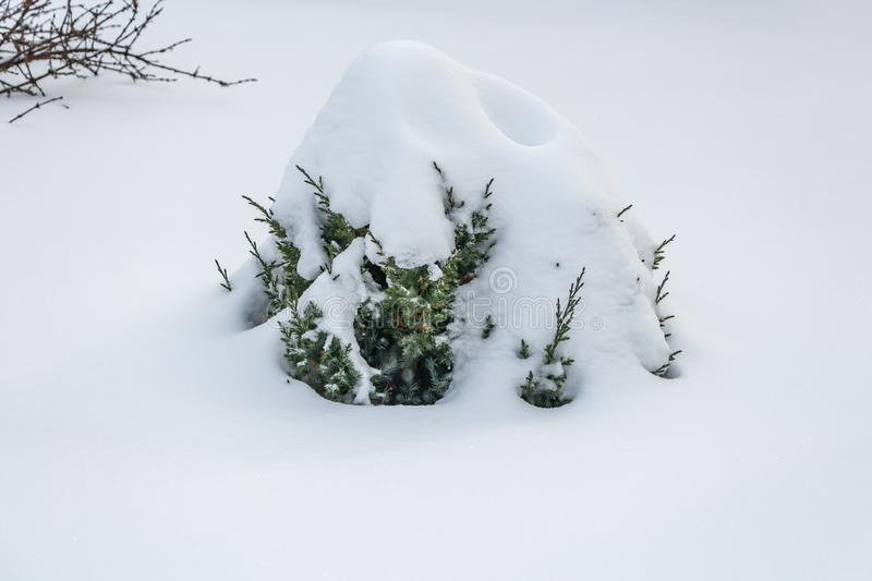 A small green juniper tree with white snow and frost is for Christmas and New year decorations in winter royalty free stock photo