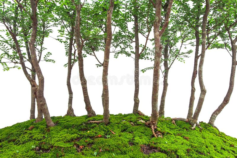 Small green leaf trees on moss covered ground, miniature bonsai royalty free stock image
