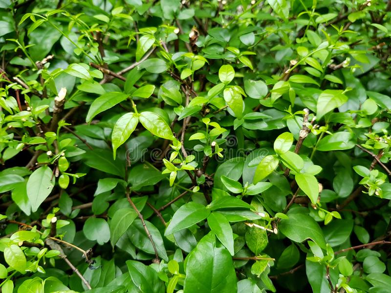 Small green leaves pattern and Pruning of mok tree. In garden park royalty free stock image