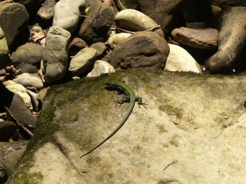A small green lizard rests on a mossy stone, a brilliant arc-shaped body, splayed foot. Partial shade of the forest, natural. Colors, lizard on the shadow side royalty free stock images