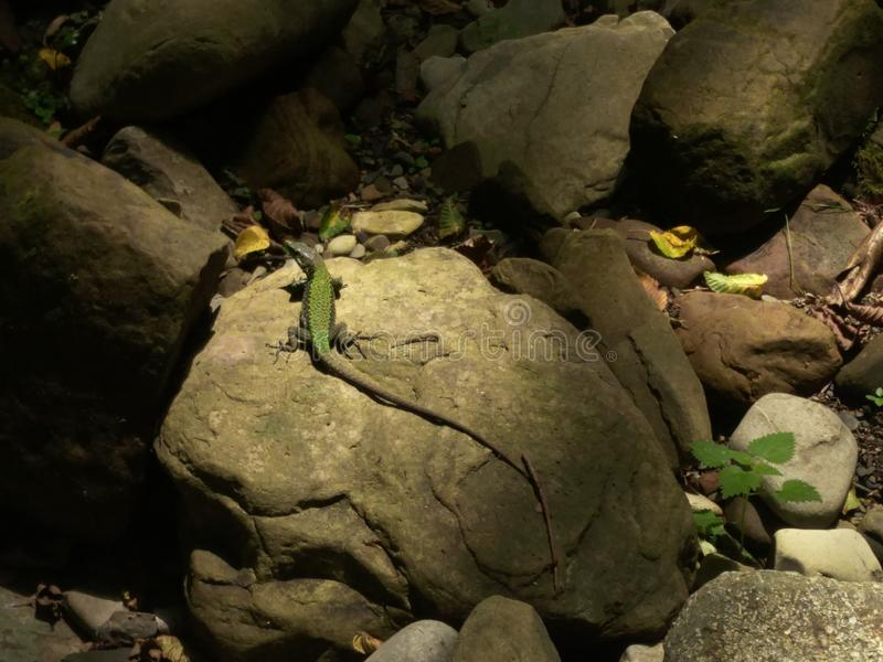 A small green lizard rests on a mossy stone, a brilliant wave-shaped body, splayed foot. Partial shade of the forest, natural. Colors, lizard lit diffused stock photos