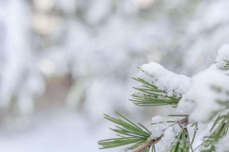 Small green natural pine tree branch frosty covered with ice stock photography