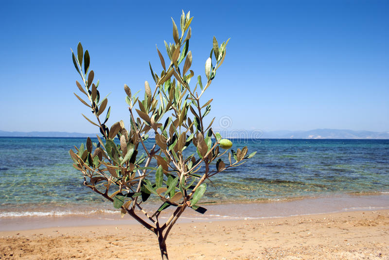 Small green olive tree near the beach