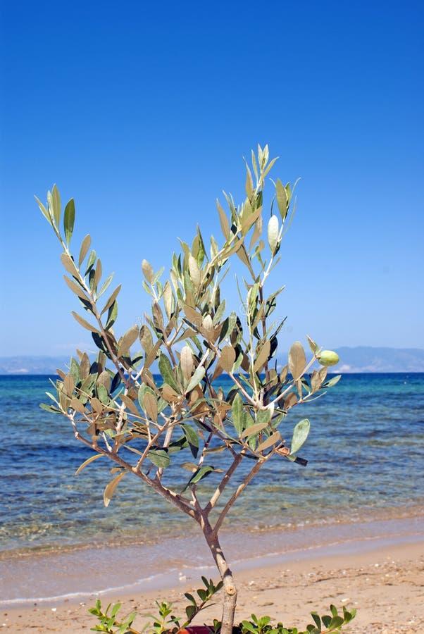 Small green olive tree near the beach