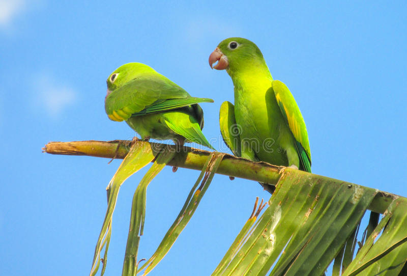 Small green parrot royalty free stock image