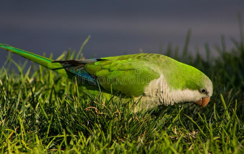 Small green parrot on the green grass royalty free stock photo