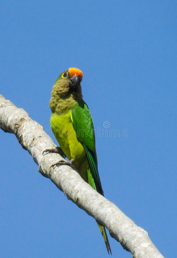 Small green parrot on tree branch. Small green colorful parrot on tree branch in the wild nature royalty free stock photos