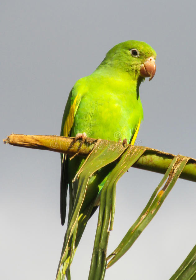 small green parrot on the tree stock image image of palm