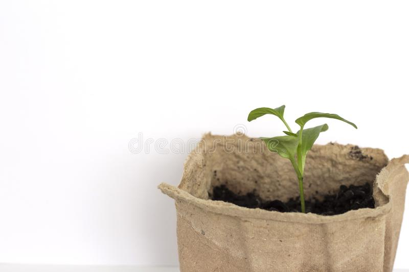 A small green pepper sprout growing in an eco-friendly organic pot on a white background with a copy of the space.  stock images