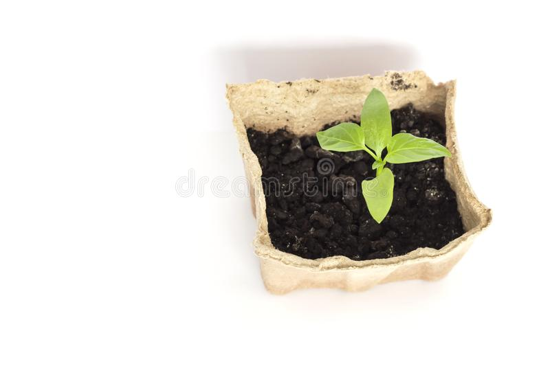 Small green pepper sprout growing in eco-friendly peat pot on white background with copy space.  stock photo