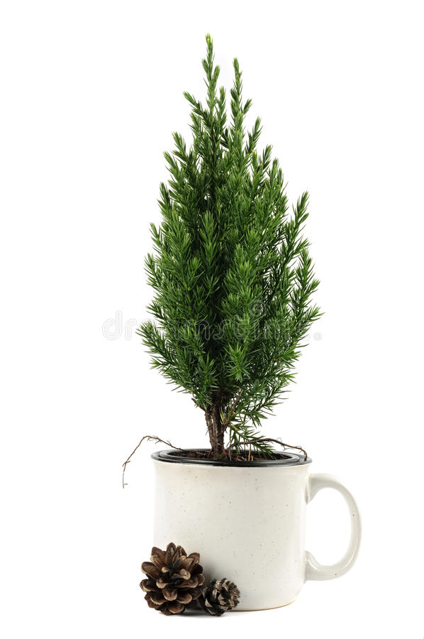 Free Small Green Pine Tree In The Cup Royalty Free Stock Photos - 85331818