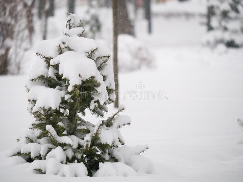 Small green pine tree under snowdrift at winter royalty free stock photos
