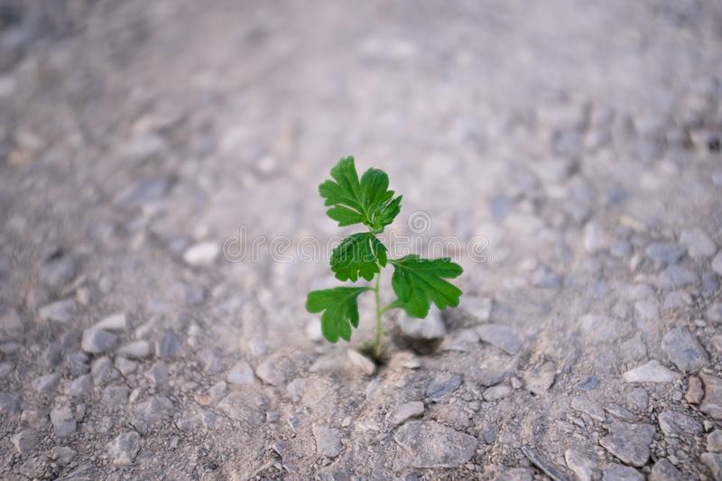 Small green plant emerging from barren land. Vitality concept. royalty free stock image