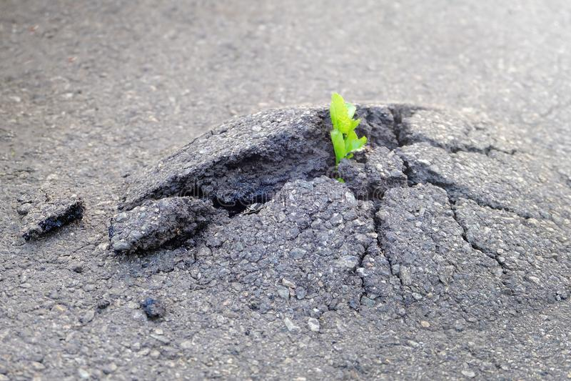 Small and green plant grows through urban asphalt ground. Green. Plant growing from crack in asphalt on road. Space for text or design stock photos