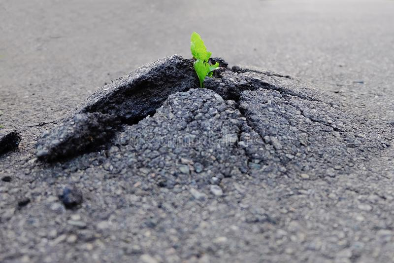 Small and green plant grows through urban asphalt ground. Green. Plant growing from crack in asphalt on road. Space for text or design stock images