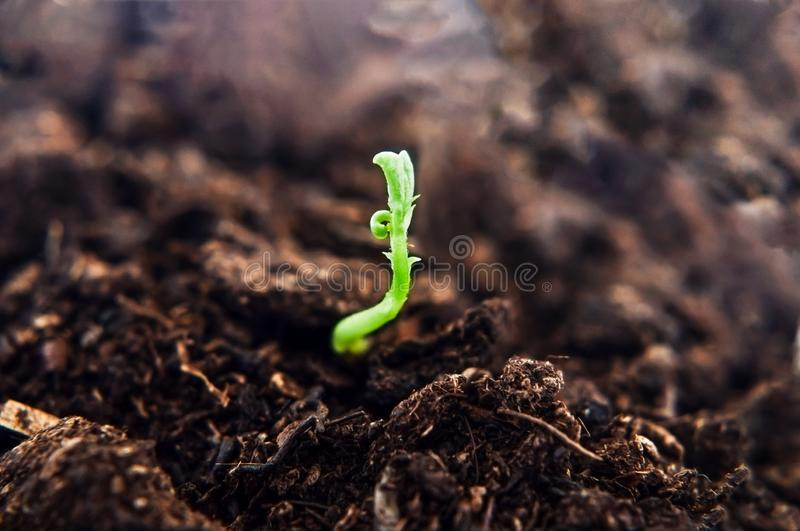 Green Shoot Sprouting from Soil and Reaching Up to Light. A small green plant shoot, growing upwards from dark brown soil, reaching towards light. New beginning stock photos