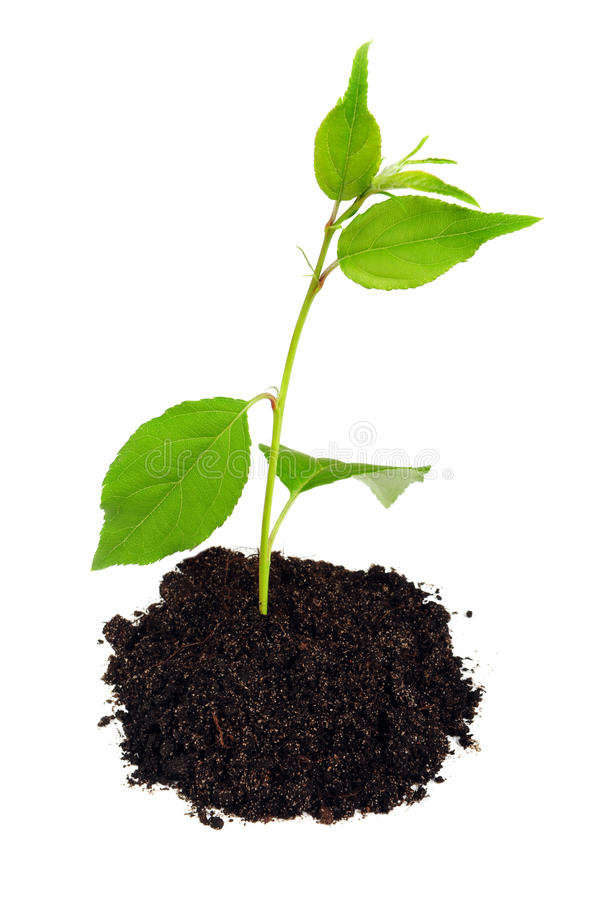Small green plant with soil. On white royalty free stock photos