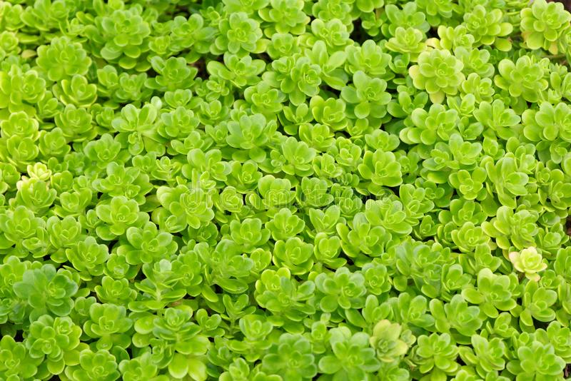 Small green plants as a full frame image. As a background image royalty free stock photos