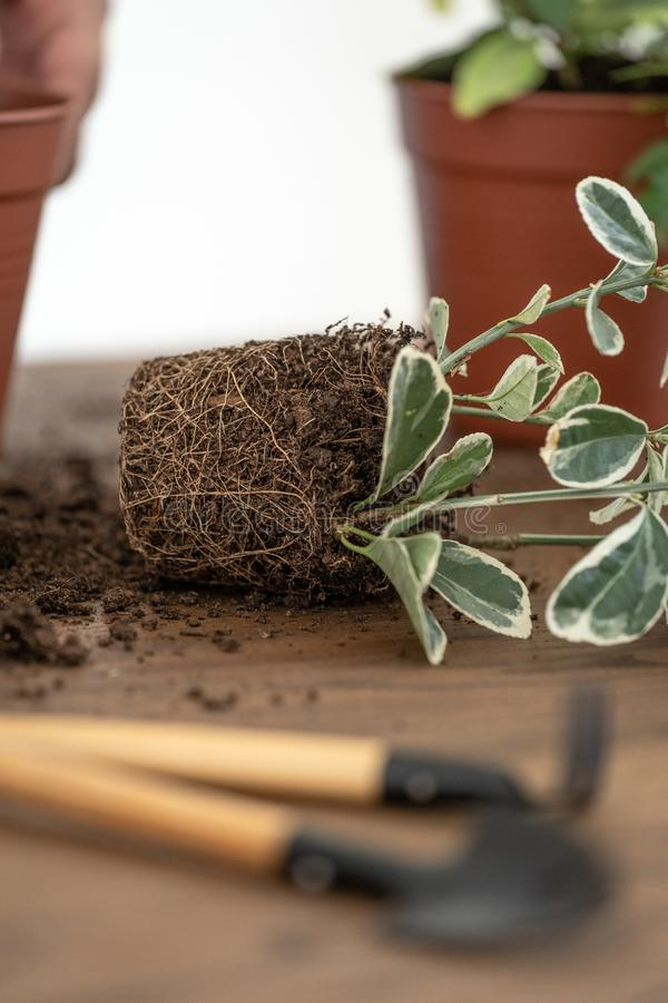 Small green plants in pots and set gardening tools on wooden texture table royalty free stock images